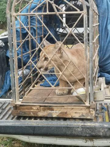 Una puma es rescatada y será devuelta a su hábitat