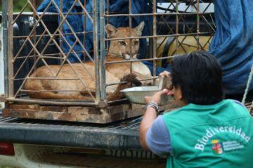 Rescatan a una puma en Pailón y un tatú gigante fue liberado