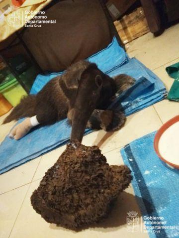 Valentina, la osa bandera, reacciona favorablemente al tratamiento veterinario
