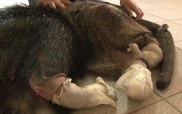 Valentina, la osa hormiguera, se recupera en Santa Cruz