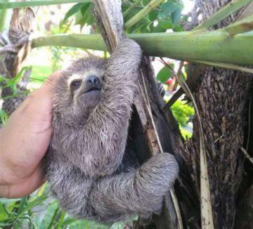 Un perezoso bebé que deambulaba es llevado a su hábitat