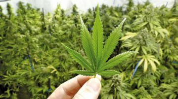 Canadá: Legalizan productos en  base a marihuana