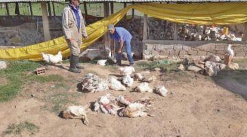 Bloqueos: avicultores reportan pérdidas económicas y cierran granjas