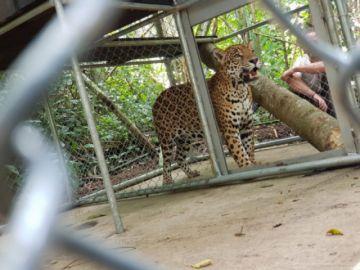 La Paz: Hernán, un jaguar rescatado fue llevado a un albergue en Los Yungas