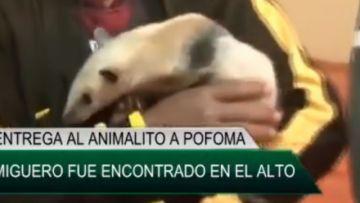 Policía Forestal rescata un oso hormiguero en El Alto