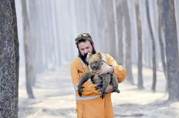 """Alertan que koalas están """"rumbo a la extinción"""""""