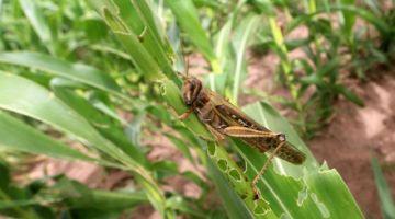 Reportan entrada de plaga de langostas voladoras a predios agrícolas