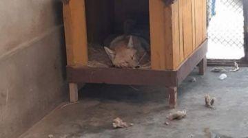 Un ministro y Defensoría boliviana piden que el zorro Antonio vuelva a casa