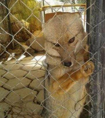 Familiares del zorro Antonio dan un gran paso para alcanzar su tenencia legal