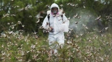 "Brasil en emergencia fitosanitaria por posible llegada de ""nube"" de langostas"