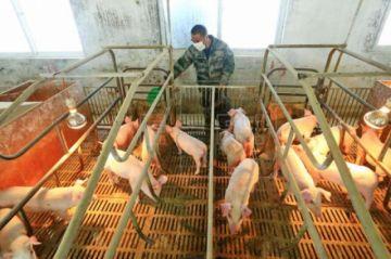 Científicos chinos alertan de que la gripe porcina que podría trasmitirse a humanos