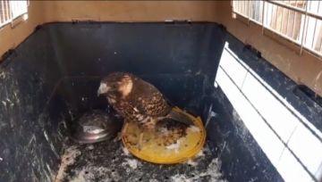 Rescataron águila que no podía volar en La Palca