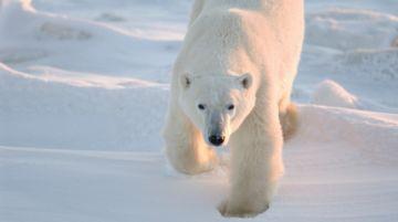 El calentamiento global podría llevar a la extinción de los osos polares
