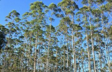 Conade alerta que gobierno pretende reforestar la Amazonia con eucalipto trasngénico