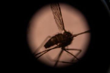 Un mosquito asiático transmisor de la malaria amenaza a decenas de millones de personas