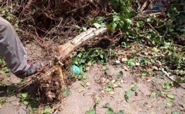 La Paz: hombre destrozó árbol frutal y deberá plantar otros 19 como sanción
