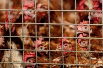 Holanda sacrifica 190.000 galinas y pollos tras la aparición de un foco de gripe aviaria