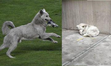 """""""Cachito"""", el perro que se hizo viral en el Tigre-Nacional,  fue atropellado y necesita ayuda"""