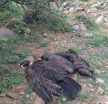 Encuentran a 30 cóndores muertos en una quebrada cerca de Tarija