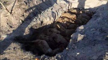 Reportan que perros mataron a más de 70 ovejas en Potosí