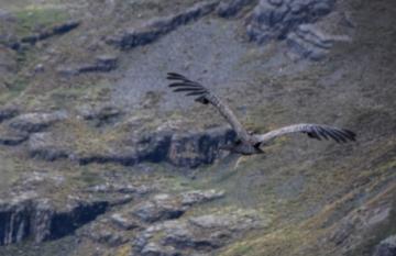 Dos cóndores hembras fueron liberadas y realizarán el seguimiento en su hábitat