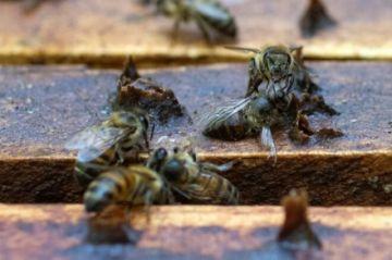 Colombia pone en la mira al Fipronil, pesticida responsable por la muerte de abejas