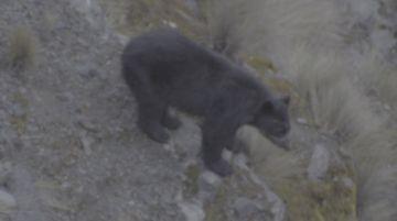 Avistan a un oso andino en su hábitat camino a la Cumbre
