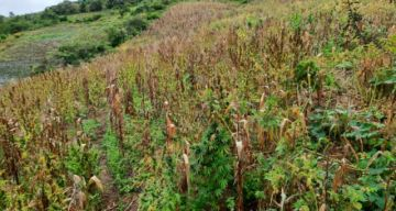 Santa Cruz: Encuentran plantación de marihuana de una hectárea y media de extensión