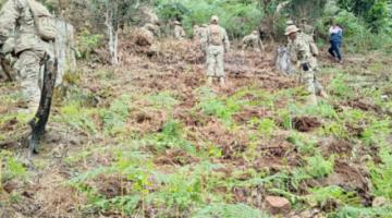 Gobierno afirman que prevé erradicar esta año 9.000 hectáreas de coca ilegal