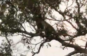 Vídeos muestran el biocidio de un jaguar en la zona oriental de Bolivia