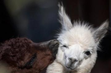 Una alpaca andina bebé, sensación del zoológico de Lima donde nació