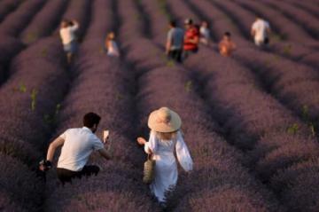 Los cultivos de lavanda florecen en Moldavia tras el declive postsoviético