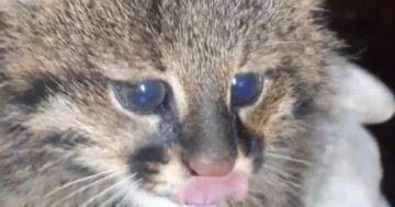 Reportan el primer registro vivo de un gato del Pantanal en Beni