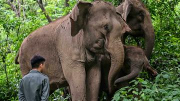 La agridulce convivencia entre humanos y elefantes asiáticos en China