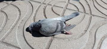 Investigan muerte de palomas del centro de la ciudad de Potosí