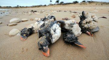 Pájaros marinos mueren de hambre durante las tempestades en el hemisferio norte, revela estudio