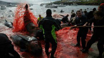 """Enorme matanza de delfines abre debate sobre el """"grind"""" de las islas Feroe"""