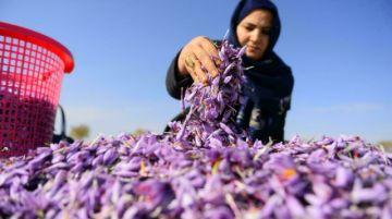 """El """"oro rojo"""" del azafrán peligra en manos de mujeres en el Afganistán de los talibanes"""