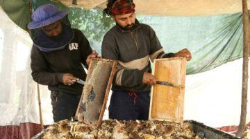 Los apicultores de la Cachemira india y sus abejas, rumbo al sur en busca del calor y de polen