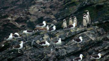 Archipiélago de Humboldt, un tesoro natural en Chile amenazado por la minera Dominga
