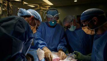 Trasplantan por primera vez riñón de puerco genéticamente modificado en un humano