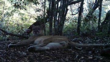 Puma considerado extinguido vuelve a Rio de Janeiro tras 80 años