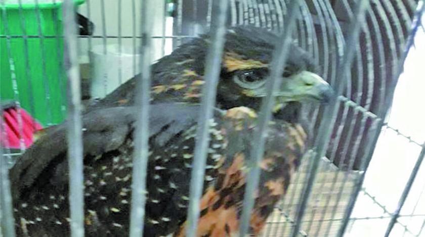 Anuncian rescate de cerca de 20 animales silvestres