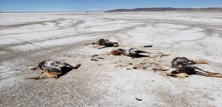 Cazadores matan a las vicuñas y les quitan su lana