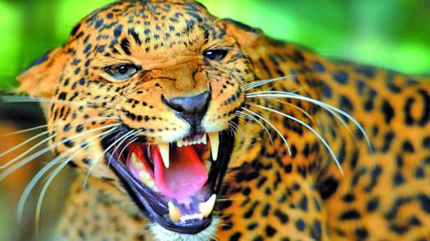 """Declaran al 29 de noviembre como el """"Día del Jaguar"""""""