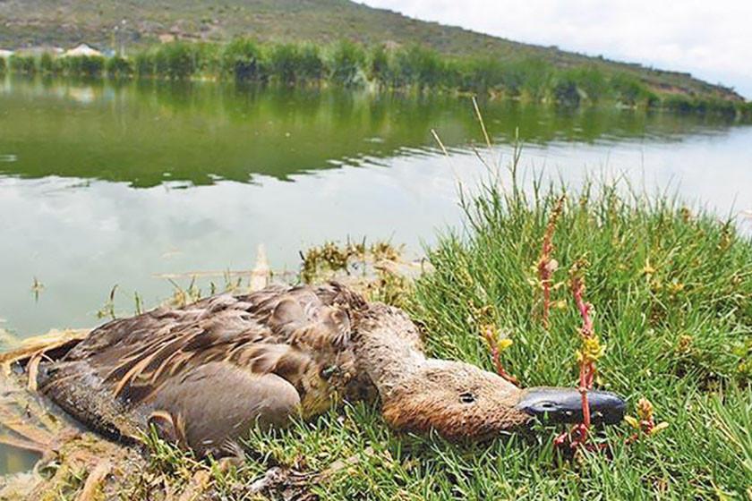 Quenamari: hay más de 20 patos y otras aves muertas