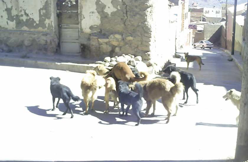 Hay como 400 perros de razas peligrosas en la Villa Imperial