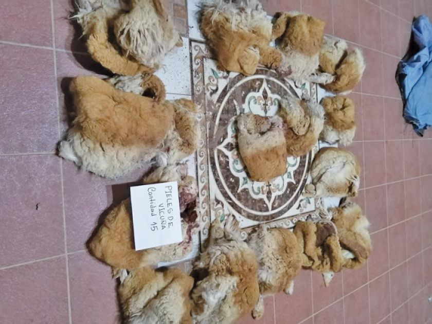 Aprehenden a dos cazadores furtivos de vicuñas en Uyuni