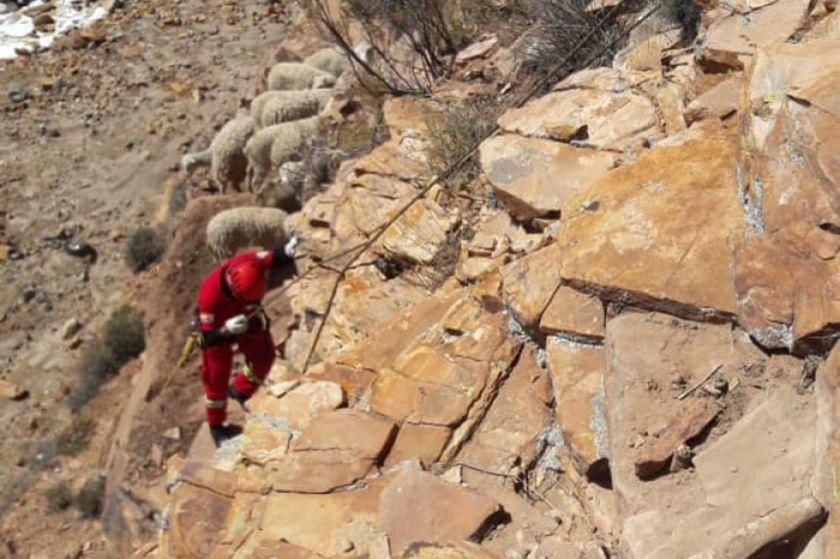 Bomberos rescataron a 12 ovejas de quebrada