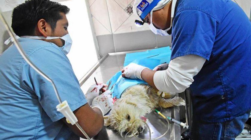 En el municipio de Potosí se esterilizó a 1.800 animales